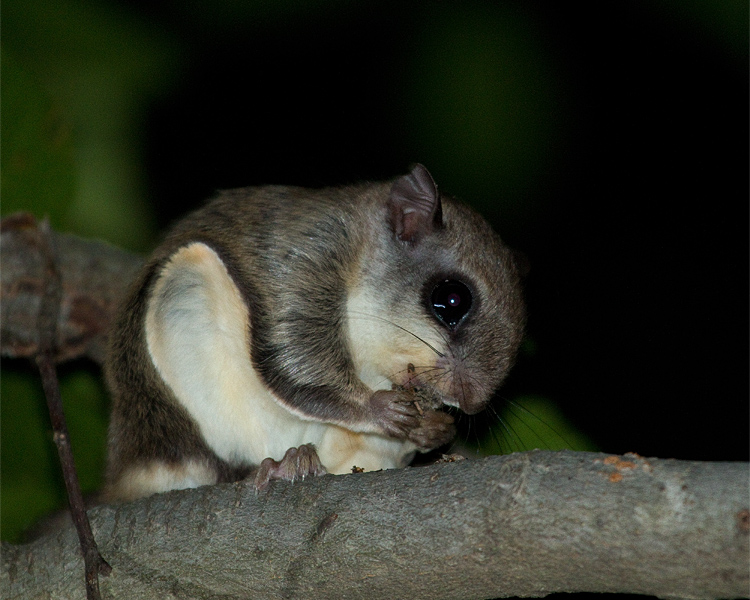 Southern Flying Squirrel Nibbling.jpg