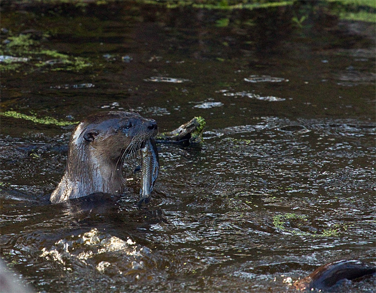 Otter in the Water with a Mouthful.jpg