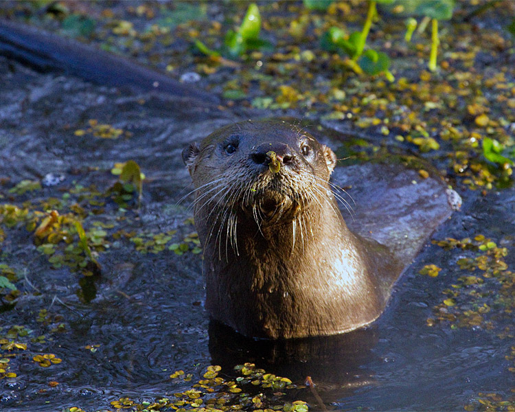 Otter in the Canal 2.jpg