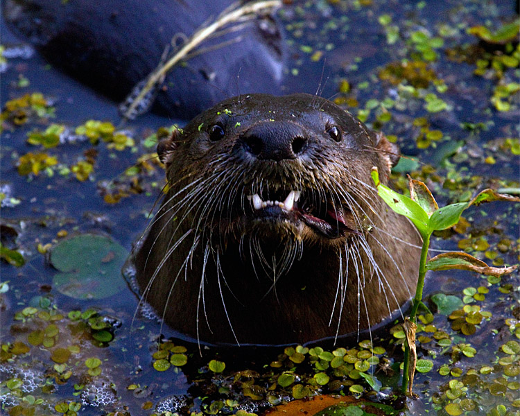 Otter Close-up in the Canal.jpg