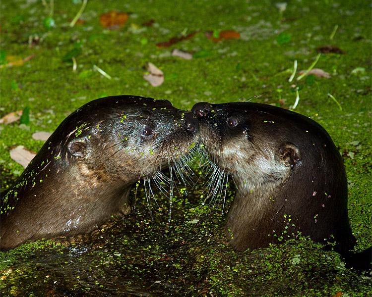 Otters Kissing.jpg