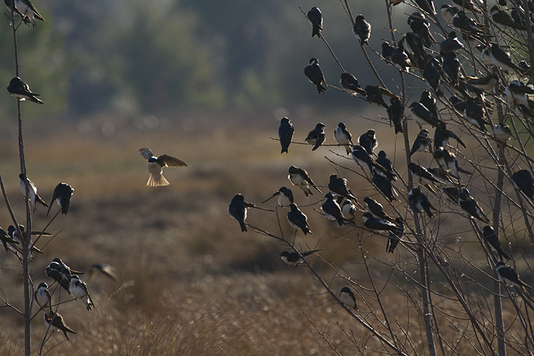 Tree Swallows on Eagle Roost.jpg
