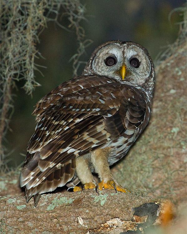 Barred Owl on Shady Oak.jpg