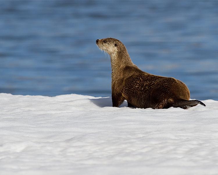 Otter at Mary Bay Neck Craned.jpg