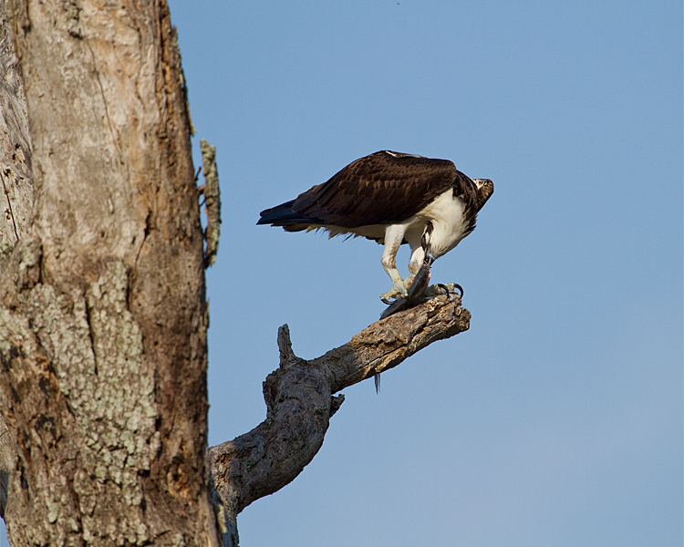 Osprey on Alligator Alley Twisting Off a Piece of Fish.jpg