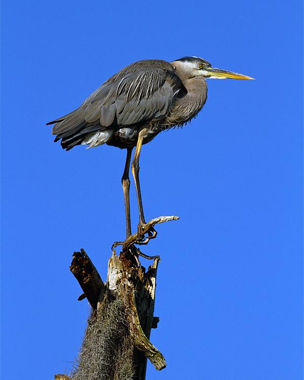 Great Blue Heron on Aligator Alley.jpg