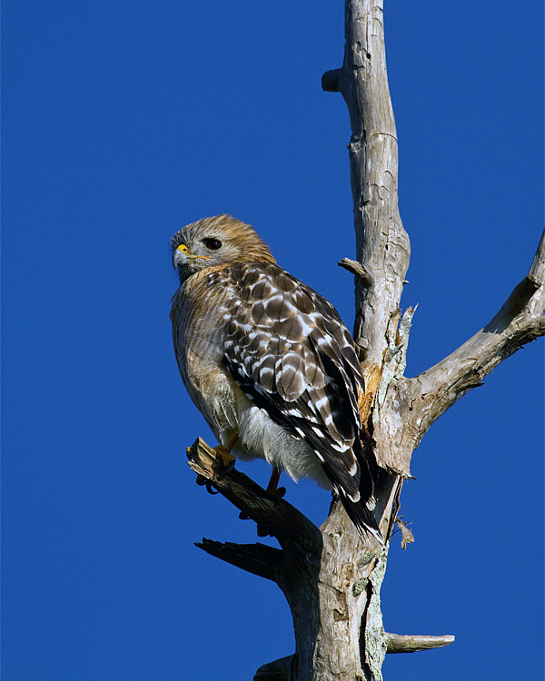 Red Shoulder Hawk on Alligator Alley.jpg