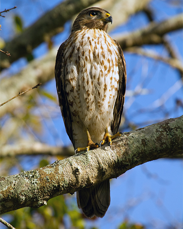 Hawk on Marsh Rabbit Run Vertical.jpg