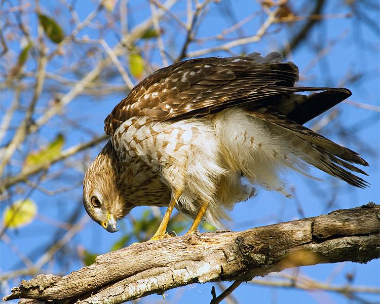 Hawk on Marsh Rabbit Run.jpg