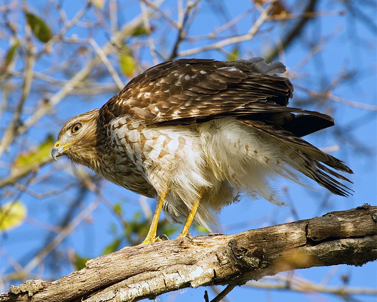 Hawk on Marsh Rabbit Run 2.jpg