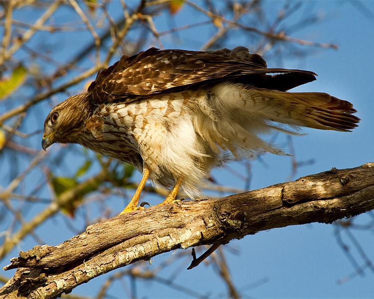 Hawk on Marsh Rabbit Run 3.jpg