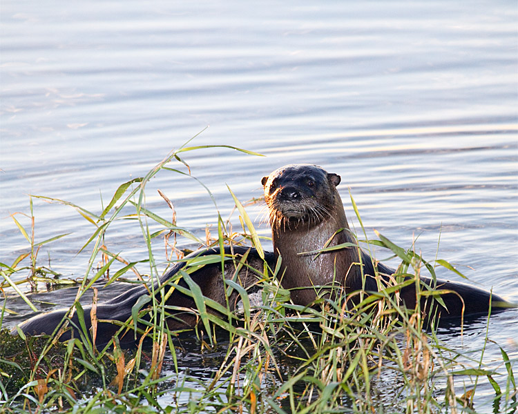 Otters on Lake Hancock.jpg