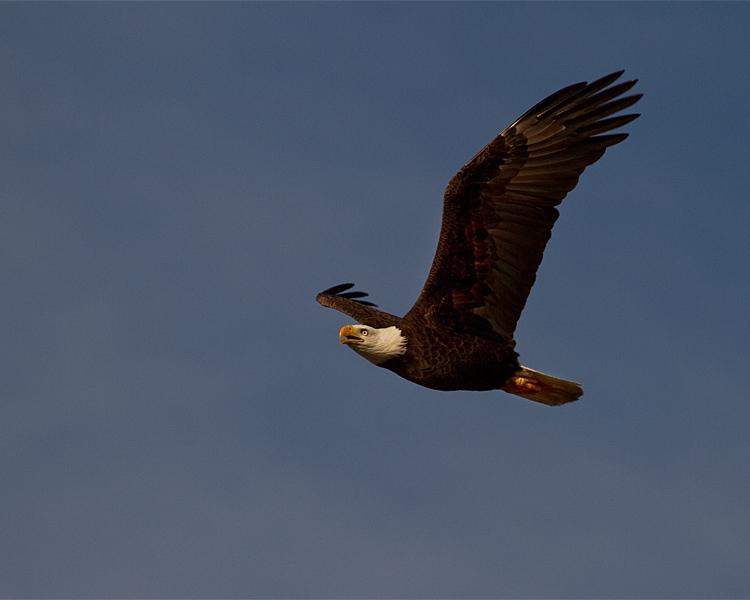 Eagle in Flight on Eagle Roost Way.jpg