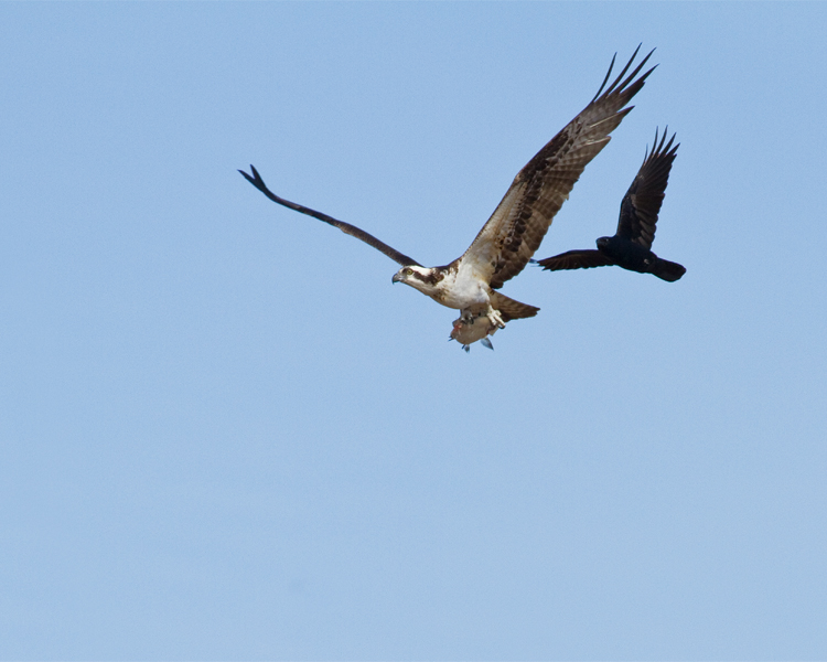 Osprey Being Chased by a Crow.jpg