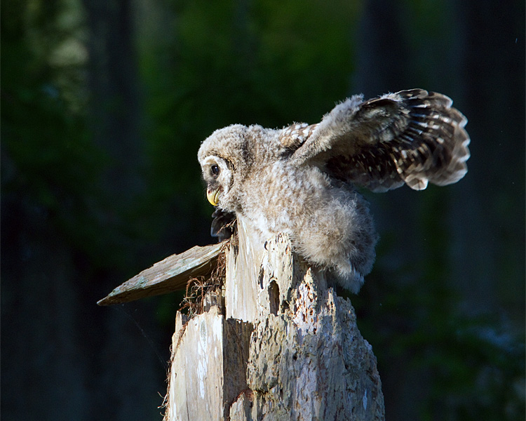 Barred Owl Chick on the Nest Wings Spread.jpg