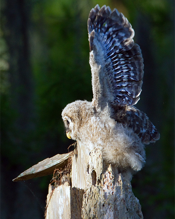 Barred Owl Chick with Wings Spread.jpg