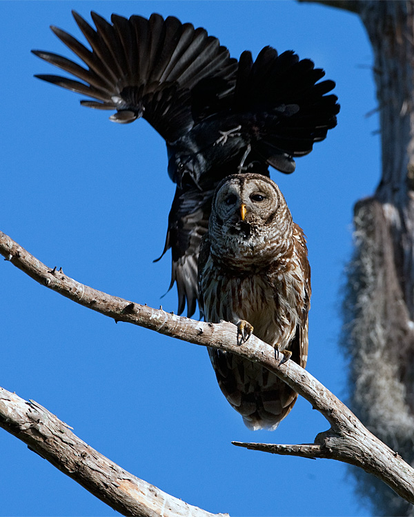 Barred Owl Being Buzzed by a Crow.jpg