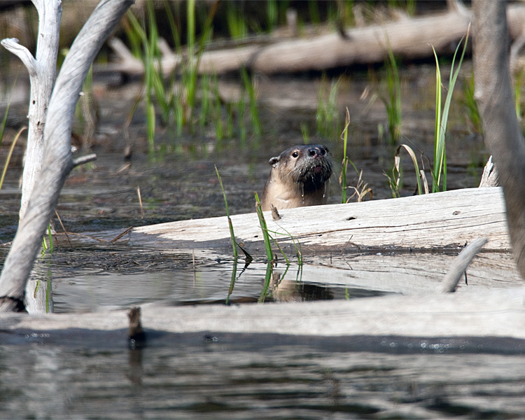 Otter in the Water.jpg