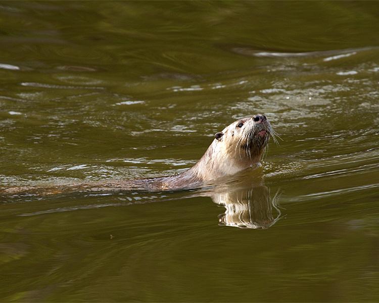 River Otter Swimming.jpg