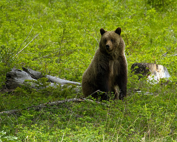 East Entrance Grizzly Standing on the Hillside.jpg