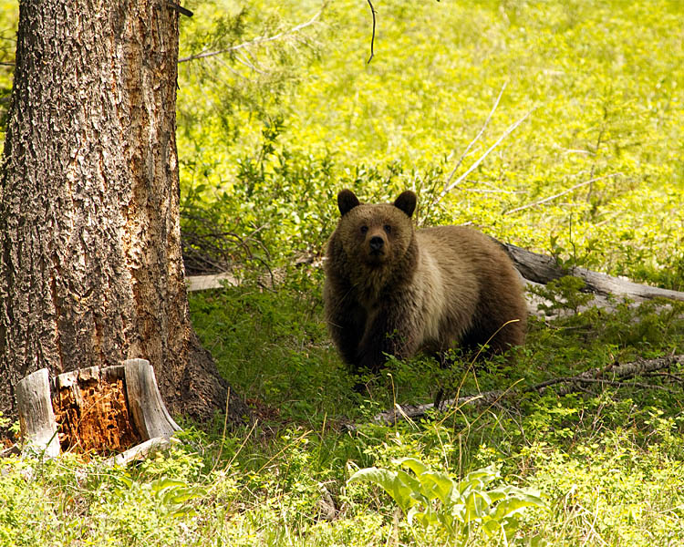Grizzly at the East Entrance.jpg