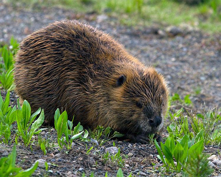 Beaver at LeHardy Rapids.jpg