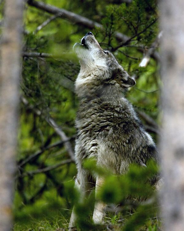 Wolf Howling.jpg