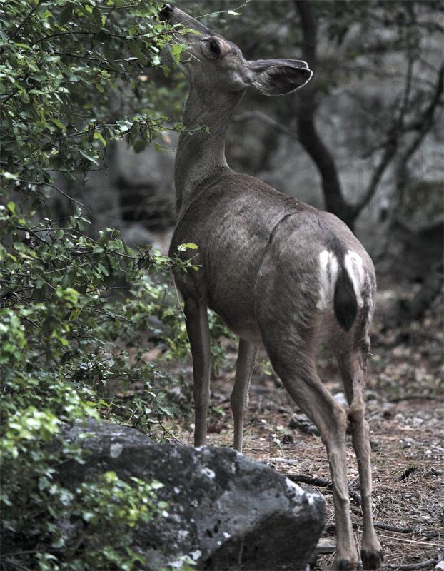Deer Munching Leaves.jpg