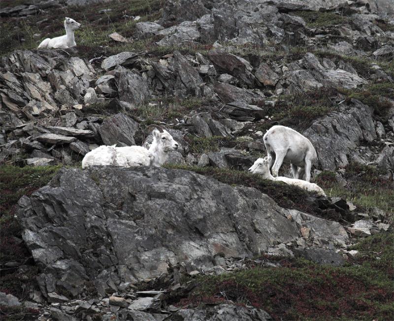 Dall Sheep on the hillside.jpg