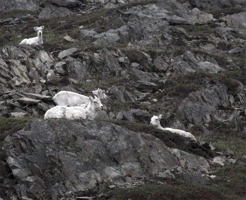 Dall Sheep on the hillside 2.jpg