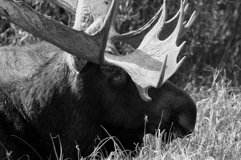 Bull Moose Laying Down Closeup Black and White.jpg