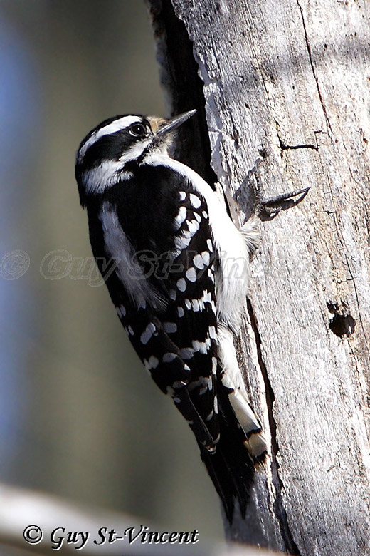 Downey Woodpecker II