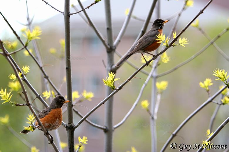 An american robin couple