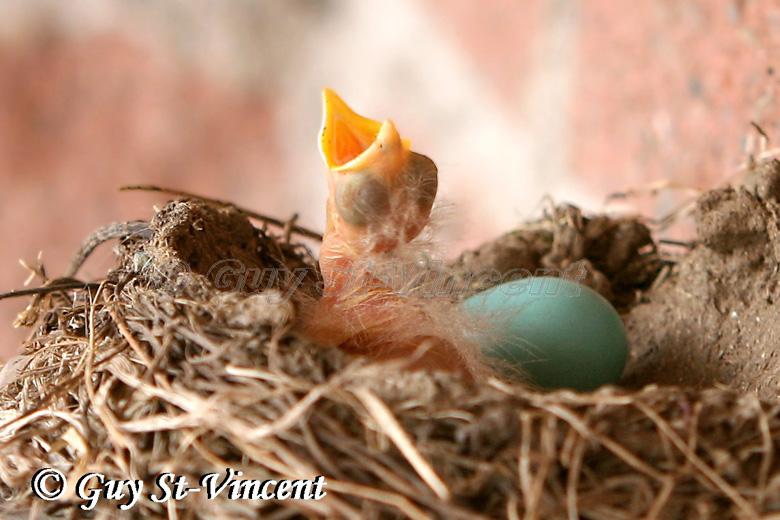 New-born american robin I