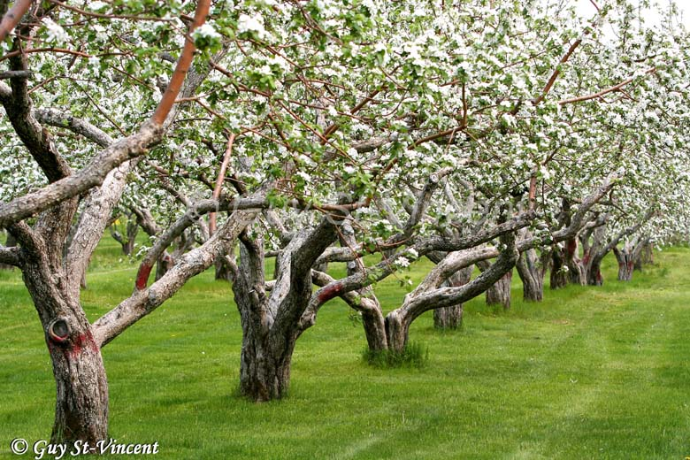 White apple trees in a row
