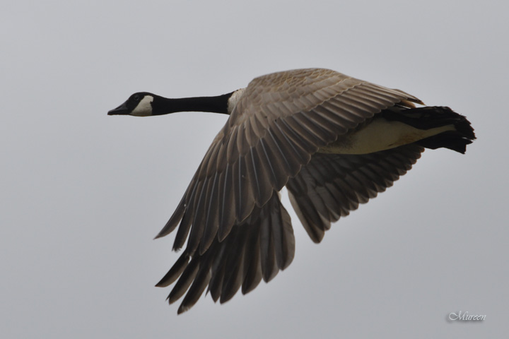 Widowed Goose, injured