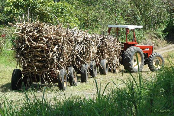 Sugar Cane Haul