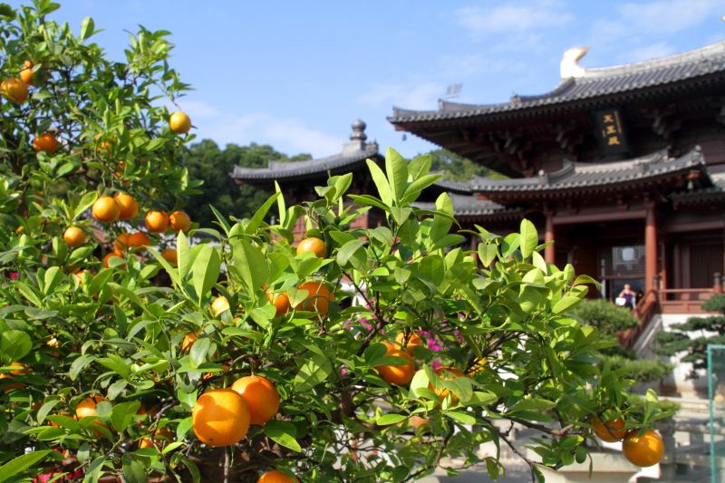 Kumquat tree, Chi Lin Nunnery, Diamond Hill, Kowloon, Hong Kong