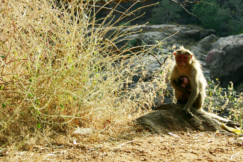Monkey with baby, Mekedattu, Bangalore