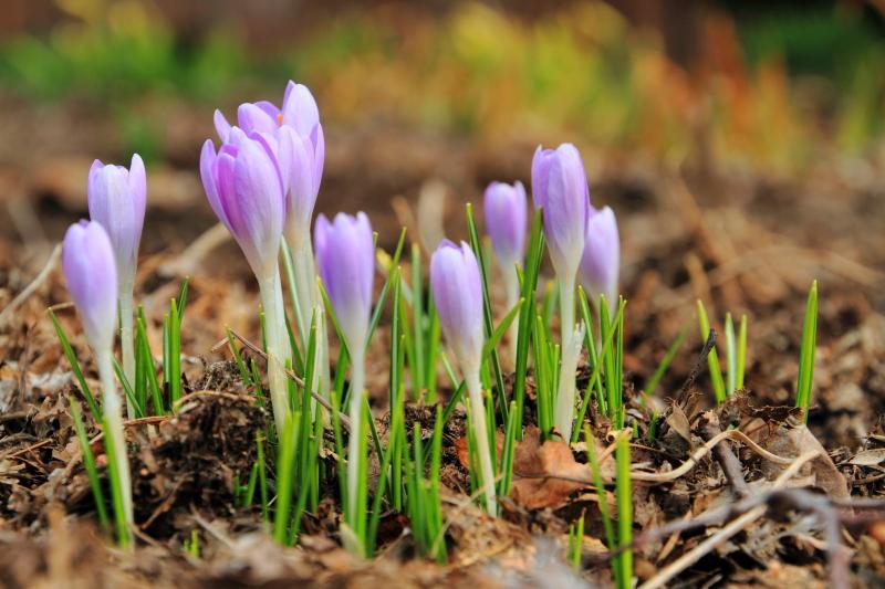 Crocus, Spring from the earth, Photo Walk April 2013, Chicago Botanic Garden