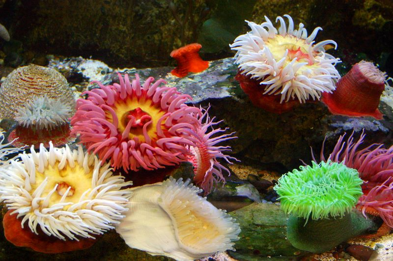 Sand Rose and Giant Green Anemone, Fish, Aquarium