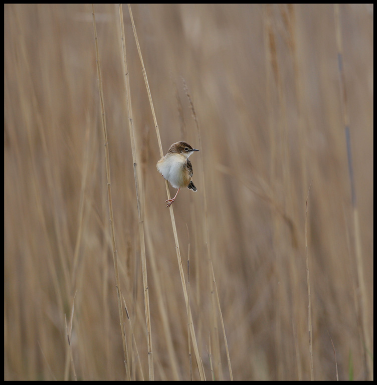 Citting Cisticola - abundant in all reed
