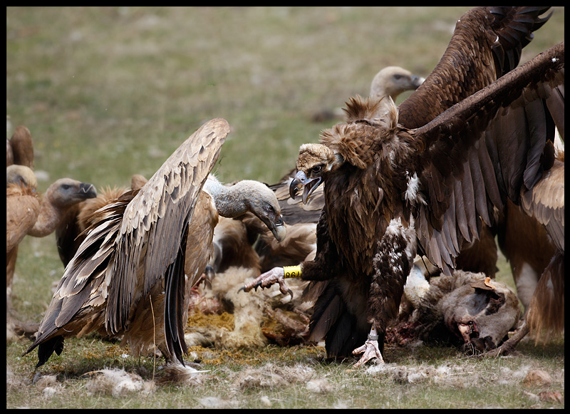 Griffon- and Black Vulture (ringed)