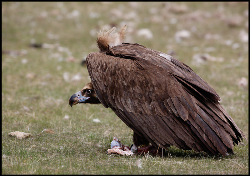 Black Vulture protecting his food