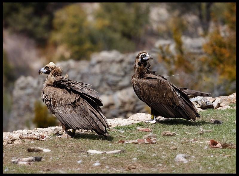 Black Vultures (right bird has radio transmitter on the back)