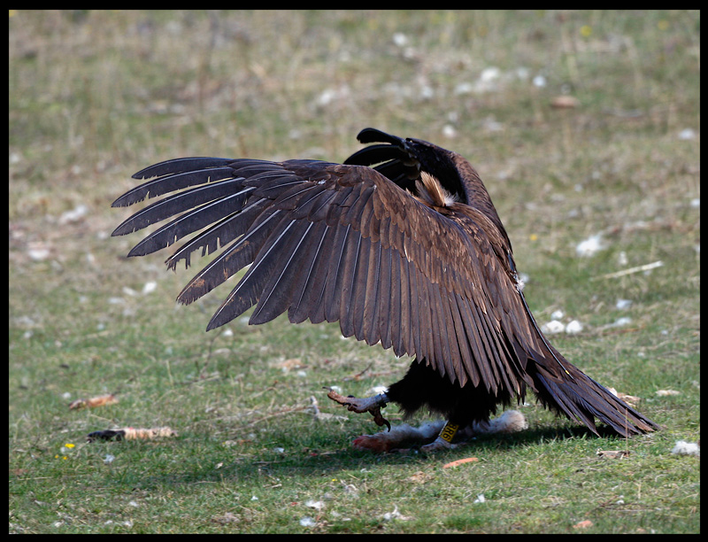Black Vulture , Watch out - I´m big and strong.....