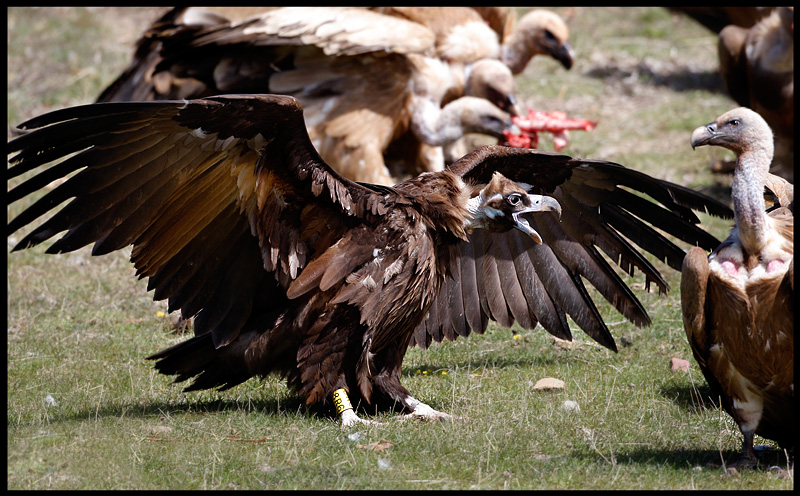 Black Vulture and Griffons