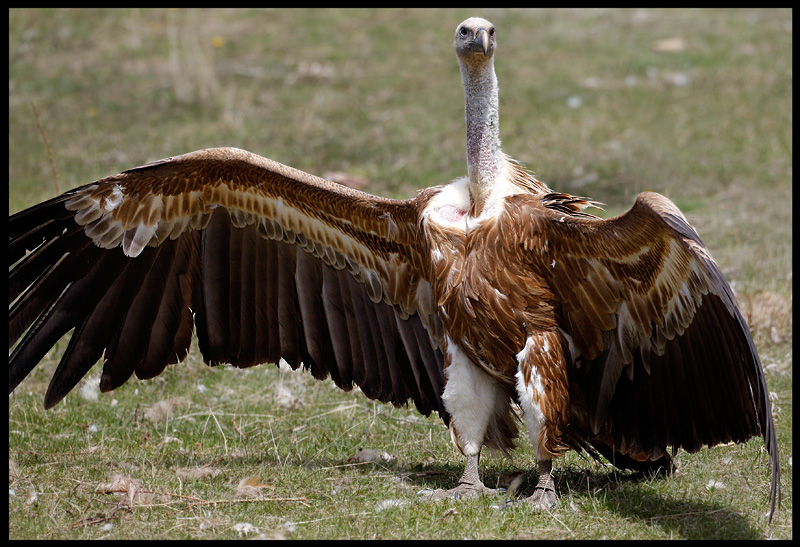 Griffon Vulture showing his impressive wings