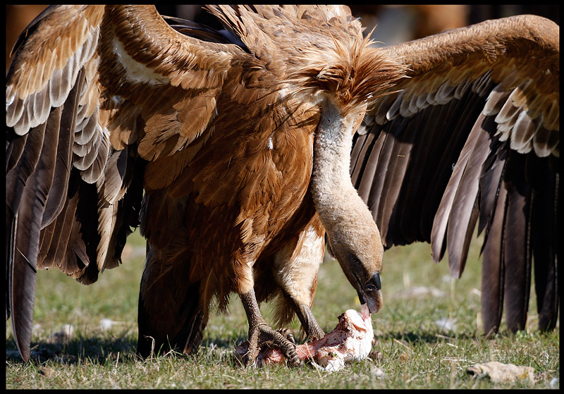 Griffon Vulture protecting his dinner....