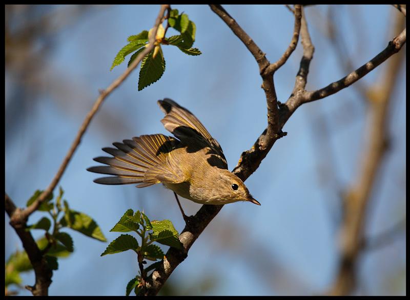 Western Bonelli`s Warbler
